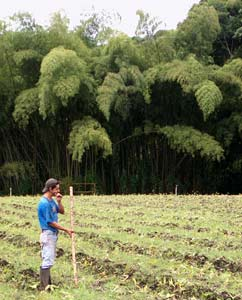 Conbam - Cultivo del bambu ...